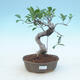 Indoor-Bonsai - Ficus retusa - kleiner Ficus - 1/2