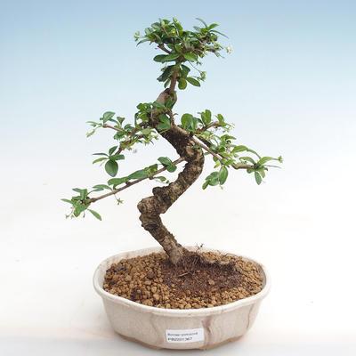 Indoor-Bonsai - Carmona macrophylla - Fuki-Tee PB2201367 - 1