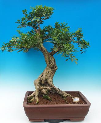 Zimmerbonsai - Muraya paniculata - 1