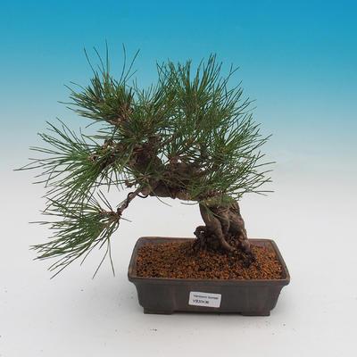 Pinus thunbergii - Kiefer thunbergova - 1