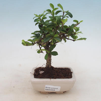 Indoor-Bonsai - Carmona macrophylla - Fuki-Tee - 1