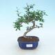 Indoor bonsai - Carmona macrophylla - Fuki tea - 1/5
