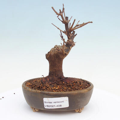 Bonsai im Freien - Buergerianum Maple - Burger Maple - 1