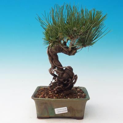 Im Freien Bonsai-Pinus Thunbergii - Thunberg-Kiefer - 1