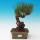 Im Freien Bonsai-Pinus Thunbergii - Thunberg-Kiefer - 1/3
