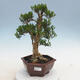 Indoor Bonsai - Buxus harlandii - Kork Buchsbaum - 1/7