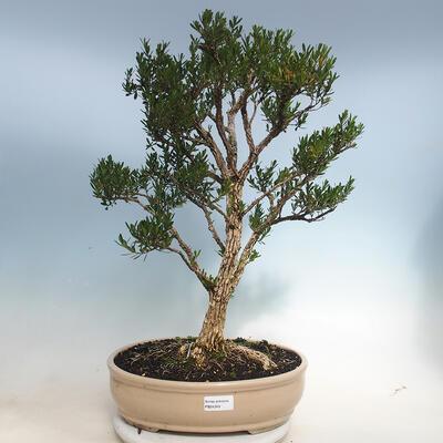 Indoor Bonsai - Buxus harlandii - Kork Buchsbaum - 1