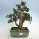 Indoor Bonsai - Buxus harlandii - Kork Buchsbaum - 1/6