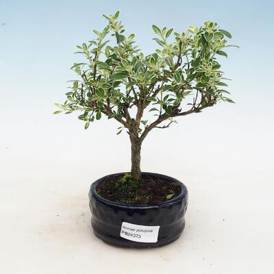 Zimmerbonsai - Serissa foetida - Baum der Tausend Sterne