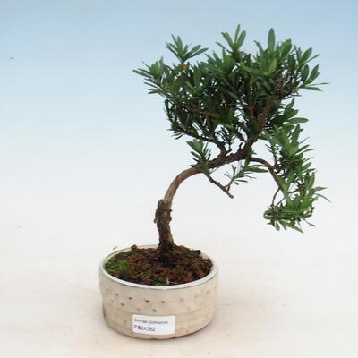 Zimmerbonsai - Podocarpus - Steintausend