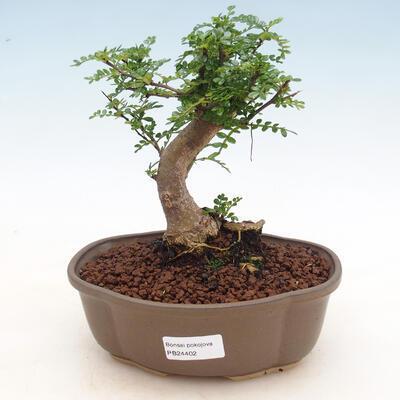 Indoor-Bonsai - Zantoxylum piperitum - Pfefferbaum - 1