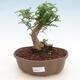 Indoor-Bonsai - Zantoxylum piperitum - Pfefferbaum - 1/4