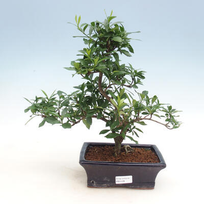 Innenbonsai - Gardenia jasminoides-Gardenia - 1