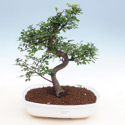 Raum-Bonsai - Ulmus parvifolia - Kleine Elm - 1