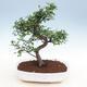 Raum-Bonsai - Ulmus parvifolia - Kleine Elm - 1/3
