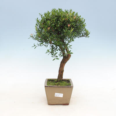 Zimmerbonsai - Syzygium - Pimentovník - 1