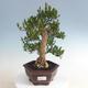 Innenbonsai - Buxus harlandii - Korkbuchsbaum - 1/5