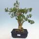 Innenbonsai - Buxus harlandii - Korkbuchsbaum - 1/7
