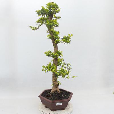 Indoor-Bonsai - Duranta erecta Aurea - 1