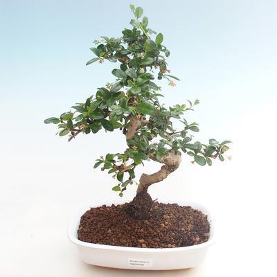 Indoor-Bonsai - Carmona macrophylla - Tee fuki PB220466 - 1