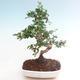 Indoor-Bonsai - Carmona macrophylla - Tee fuki PB220466 - 1/5