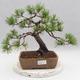 Bonsai im Freien - Pinus sylvestris - Waldkiefer - 1/4