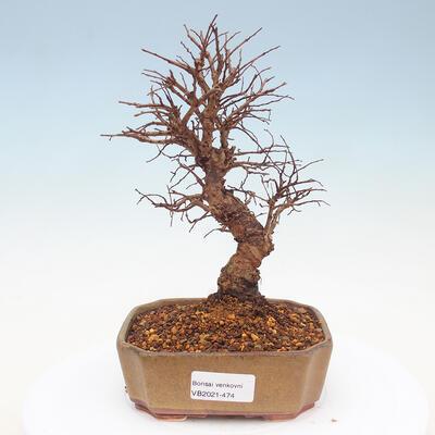 Bonsai im Freien - Malus halliana - Kleinfruchtiger Apfelbaum VB2020-474 - 1