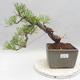 Bonsai im Freien - Pinus sylvestris - Waldkiefer - 1/5