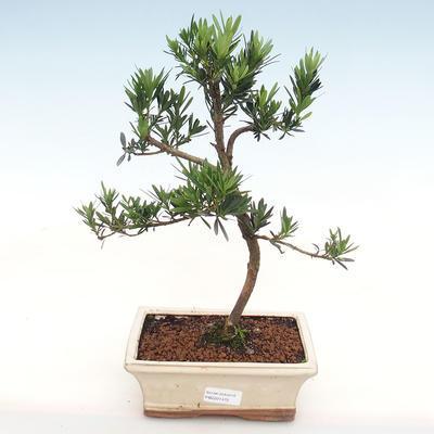 Indoor-Bonsai-Podocarpus-Stein tausend - 1