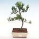 Indoor-Bonsai-Podocarpus-Stein tausend - 1/4