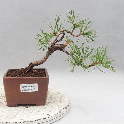 Bonsai im Freien - Pinus sylvestris - Waldkiefer - 1