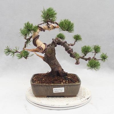 Bonsai im Freien - Pinus Mugo - kniende Kiefer - 1