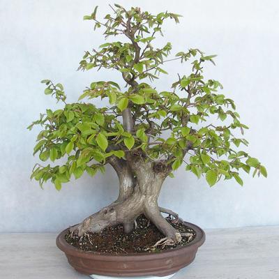 Bonsai im Freien Carpinus betulus- Hainbuche VB2020-485 - 1