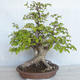 Bonsai im Freien Carpinus betulus- Hainbuche VB2020-485 - 1/5