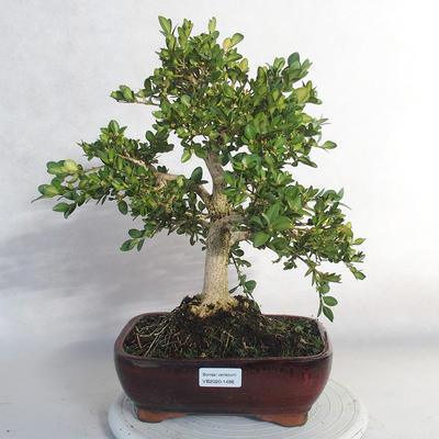 Bonsai im Freien - Buchsbaum - 1