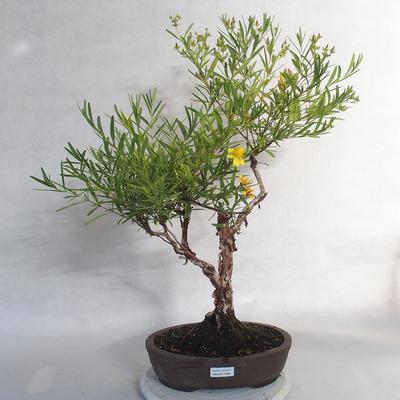 Bonsai im Freien - Johanniskraut - Hypericum - 1