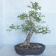Outdoor Bonsai -Ulmus GLABRA Elm VB2020-495 - 1/5