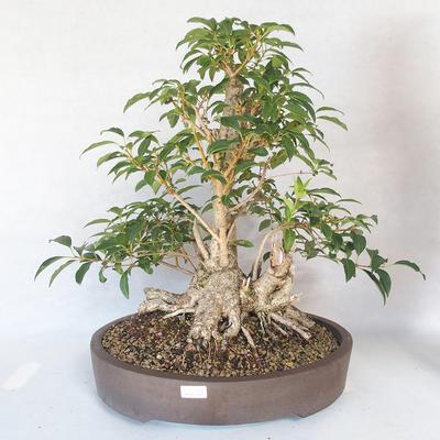 Bonsai im Freien - Forsythie - Forsythie - 1