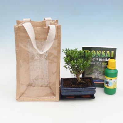 Zimmer Bonsai in einer Geschenktüte - JUTA, Buxus harlandii-Cork Buchsbaum