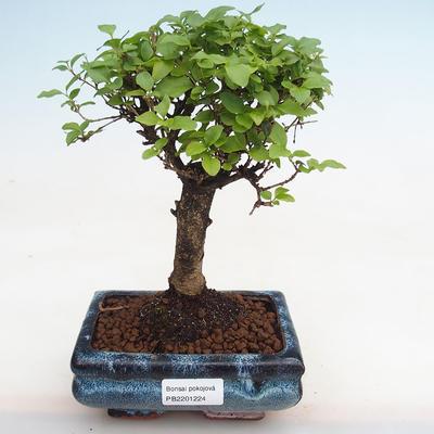 Innenbonsai -Ligustrum chinensis - Vogelschnabel PB2201224 - 1