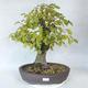 Bonsai im Freien - Hainbuche - Carpinus betulus - 1/5