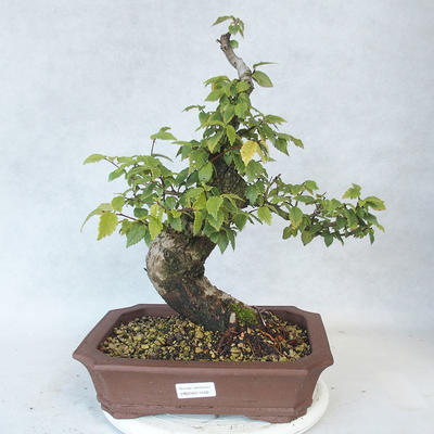 Outdoor Bonsai-Ulmus Glabra-Massiver Ton - 1