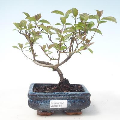 Bonsai im Freien - Hartriegel - Cornus mas VB2020-515 - 1