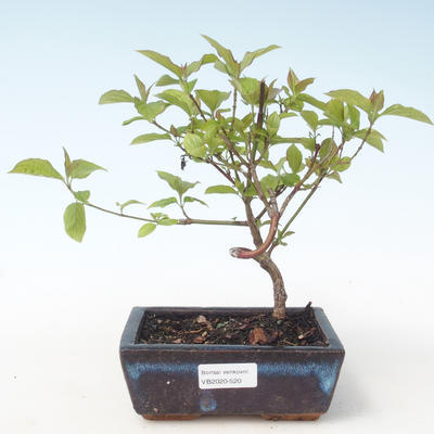 Bonsai im Freien - Hartriegel - Cornus mas VB2020-520 - 1