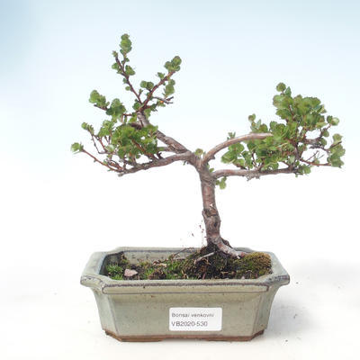 Bonsai im Freien - Zwergbirke - Betula NANA VB2020-530 - 1