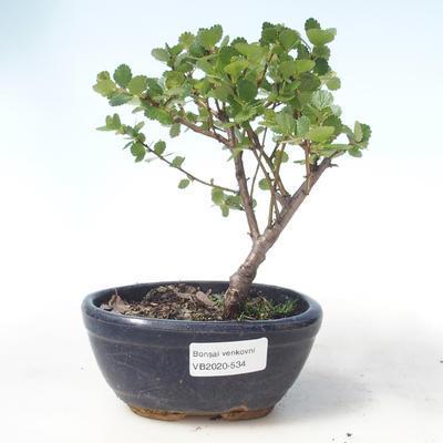 Bonsai im Freien - Zwergbirke - Betula NANA VB2020-534 - 1