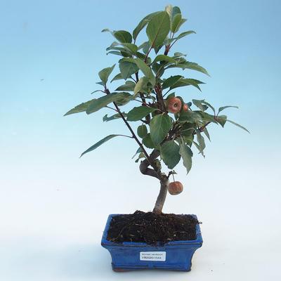 Bonsai im Freien - Malus halliana - Apfelbaum mit kleinen Früchten - 1