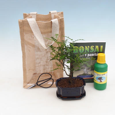 Zimmer Bonsai in einer Geschenktüte - JUTA, Zantoxylum piperitum - Pfefferkorn