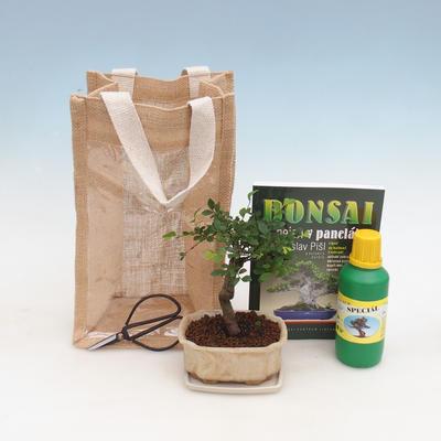 Zimmer Bonsai in einer Geschenktüte - JUTA, Ulmus parvifolia-Indoor Ulme