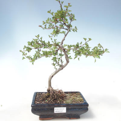 Outdoor Bonsai - Hawthorn Einzelsamen VB2020-547